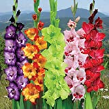 Kraft Seeds Gate Garden Gladiolus Mix Flower Bulbs (Multicolour, Pack of 5)