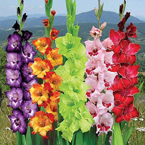 Gladiolus Wallpapers Earth Hq Gladiolus Pictures 4k Wallpapers 2019