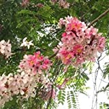 Cassia Javanica Seeds, Pink & White Shower Flowering Tree, Fragrant Garden 50 seeds