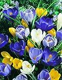 36 Zwiebel Großblumige Krokusse blau. Größe 8/9 - zu dem Artikel bekommen Sie gratis ein Paar Handschuhe für die Gartenarbeit dazu