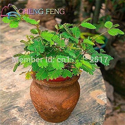 Amazon.com : Hot Sales! 30pcs Bashful Grass Seeds Mimosa Pudica Linn ...