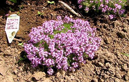 12 Live Thyme Pink Chintz Plant - 12 Ground Cover Plants From Plugs