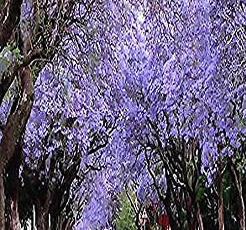 - 20 x Blue Jacaranda, Jacaranda Mimosifolia, Tree Seeds - Spectacular BLUE VIOLET Flowers - Excellent As Bonsai Specimen or Shade Tree - By MySeeds.Co