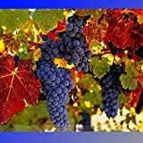 (Grape *Ambizu*) Rare French Cabernet Sauvignon Grape Bush Organic Seeds, Professional Pack, 15 Seeds