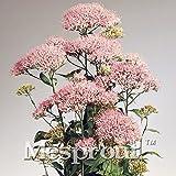 50 seeds Throatwort Trachelium Caeruleum Nectar plants seeds 9 #32694076371ST