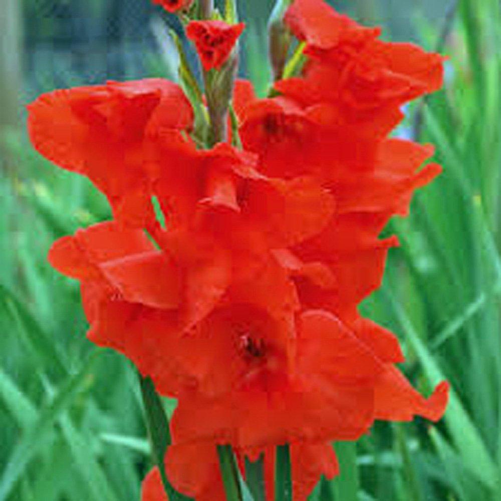 Amazon Gladiolus Bulb One Red Sensation Stunning Red