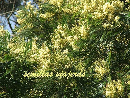 (Portal Cool Acacia Dealbata, Mimosa, 150 Seeds, Seeds, Graines, Samen, Sementes, Semi)