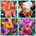 4 Tall Bearded Irises - Iris 4 Combo Pack - Tall Bearded Iris Rhizome Upc 656793276872 Bright Colors
