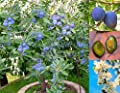 Dwarf Plum tree 'Petite Soeur' SUPER SWEET! and SELF-FERTILE! Seeds.