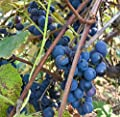 Concord Grape Seeds (Vitis labrusca 'Concord') 10+ Organic Michigan Concord Grape Vine Seeds in FROZEN SEED CAPSULES for the Gardener & Rare Seeds Collector - Plant Seeds Now or Save Seeds for Years