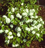 Newport Viburnum (1 foot tall in full gallon containers) miniature snowball bush