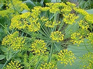 El envío gratuito 3 paquetes de 90 semillas de eneldo amarillo raras, D005 de semillas Anethum graveolens hierba