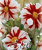 Dahlia Fire and Ice - Bulb/Tuber/Root -