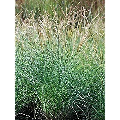 Perennial Farm Marketplace (Miscanthus s. 'Adagio') Ornamental Grass, Size-#1 Container, Silvery-Gray Leaves : Garden & Outdoor
