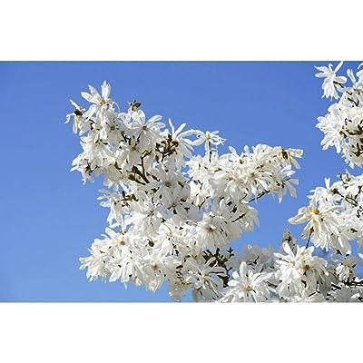 5 Star Magnolia Stellata Tree Seeds SFB11 : Garden & Outdoor