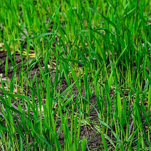 5 Lbs No-Till Winter Rye Cover Crop Seeds - Non-GMO Rye - Deer & Turkey Food Plot Seed - Winter Hardy Cover Crop (Best Turkey Food Plot Seed)