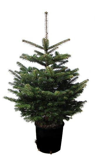 Nordmanntanne Weihnachtsbaum.Nordmanntanne Im Topf Gewachsen Weihnachtsbaum Ideal Zum Einpflanzen 80 100cm