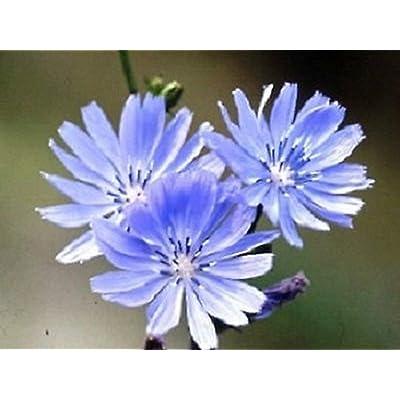 AchmadAnam - Seeds - Chicory Flower Seeds - HERB : Garden & Outdoor