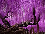 Wisteria Vine Japanese, 10 Seeds