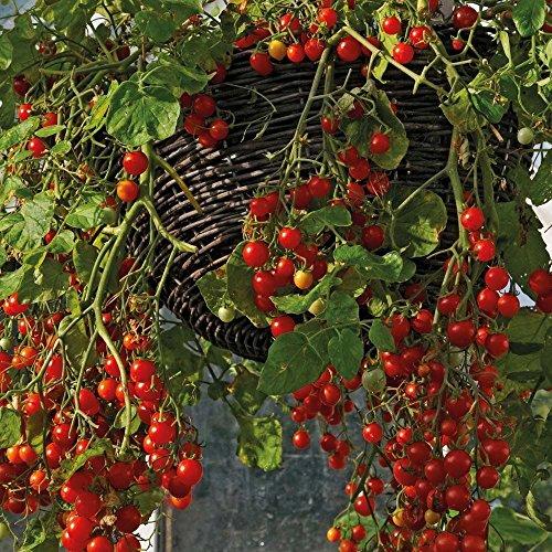 Tomato Seeds 50 Cherry Tomato Red Cascade 50 Seeds Traili...