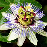 Wintefei 10Pcs Beautiful Passion Flower Tree Passiflora Seeds Garden Yard Edible Plant