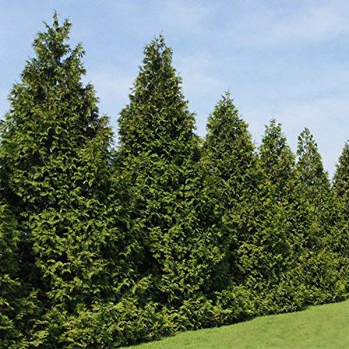 Thuja Green Giant Trees - Large, Tall Evergreen Trees for Instant Privacy! - Oversize Arborvitae Thuja Green Giants (10 Plants (1-2 feet Tall)) by Brighter Blooms (Image #1)