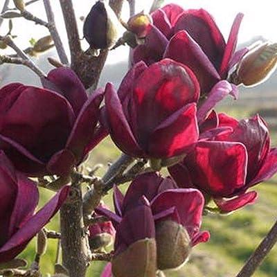 Portal Cool 10Pcs/Pack Fragrant Deep Black Purple Magnolia Yulan Tree Flower Tulip Tree Seed : Garden & Outdoor