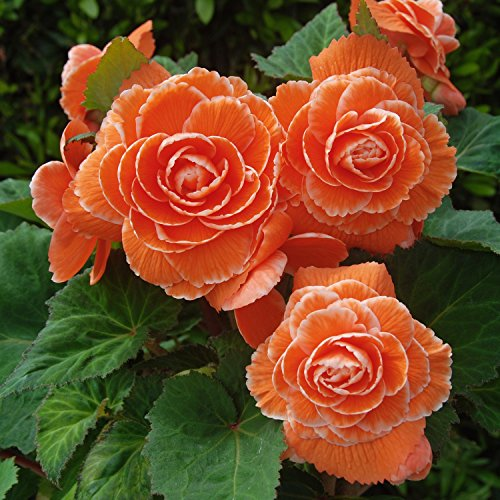 (Mytree Apricot Amerihybrid Tuberous Picotee Lace Begonia (3 Big Bulbs) 6¡± Bi-Color Blooms)