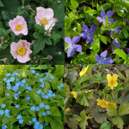 lichtnelke - Stauden-Paket mit 10 Pflanzen für den Schatten
