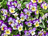 100+ Viola Johnny Jump-Up Flower Seeds, Heartsease, Purple-Yellow, Blooms Heavily, Self-seeding Biennial, Beautiful, Decorative! From USA