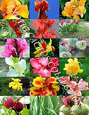 10 Seeds Canna Lily Mix, Exotic Tropical Flowering Pond Ginger Lilies Bulbs Seed