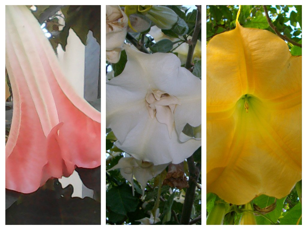 Angel Trumpet Yellow 2  CUTTINGS Brugmansia