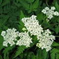Outsidepride Sweet Cicely Herb Plant Seed
