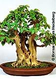 Tropica - Bonsai - Bobaum / Bodhibaum (Ficus religiosa) - 200 Samen