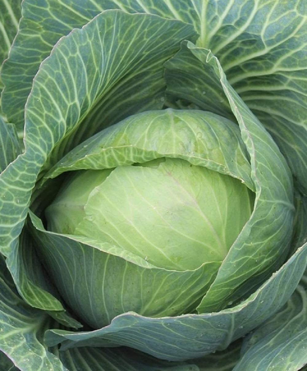 50+ Count Late Flat Dutch Cabbage Seed, Heirloom, Non GMO Seed Tasty Healthy Veggie