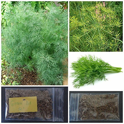 Greek Dill Seeds ~150+ Top Quality Seeds - Amazing Flavor! by sivri-gr2013