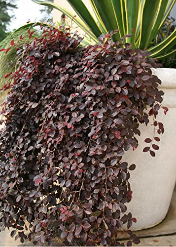 2 Gallon - Purple Pixie Weeping Loropetalum - Dwarf Evergreen Shrub With Dark Purple Foliage With Pink Ribbon Blooms