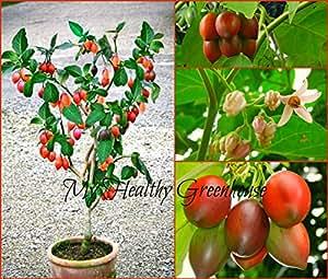 SEEDS – Self-Pollinating Dwarf Tamarillo, (Cyphomandra betacea) Upright Tomato Tree SHIPS FROM CANADA!