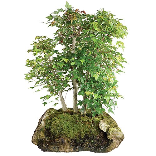 Brussel's Live Trident Maple Specimen Outdoor Bonsai Tree - 45 Years Old; 23