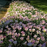200 Seeds Showy Evening Primrose Flower Seeds (Oenothera Speciosa)