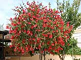 Callistemon citrinus | Lemon Crimson Bottlebrush | 20_Seeds
