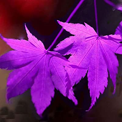 SimingD 30 Pc/Pack Purple Blue Ghost Japanese Maple Tree Seeds(Acer Palatum), Potted Plant for Indoor/Outdoor for Home & Garden (Purple Blue) : Garden & Outdoor