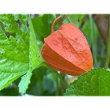100 CHINESE LANTERN (Winter or Ground Cherry / Japanese Lantern) Physalis Alkekengi Flower Seeds