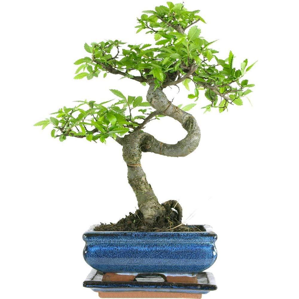 Bonsai Tree (1, Bonsai Tree Lucky Dip)