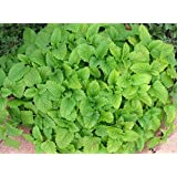 Lemon Balm aromatic herb loved by bees and butterflies 9cm pot FREE DELIVERY