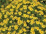 """Flower seeds Signet Marigold-Tagetes """"Mexican Lulu""""(Tagetes tenuifolia) 50 Seeds"""