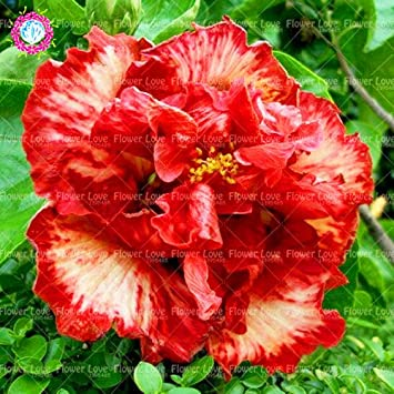 100PCS Seed Hibiscus Rare Chinese Double Hibiscus Graines de fleurs ...