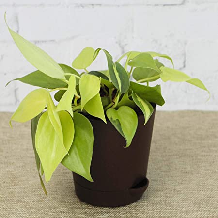 Ugaoo Philodendron Oxycardium Golden Plant With Self Watering Pot Amazon In Garden Outdoors