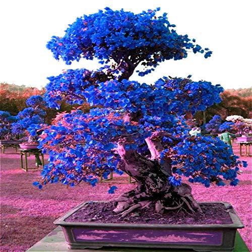 - purple00 pcs Exotic Bougainvillea Seed Blue Flower Perennial Tree Bonsai Decor Garden