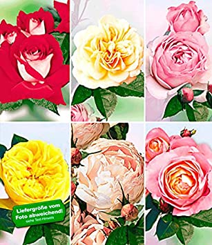 1 Pflanze Edelrose BALDUR-Garten Delbard/® Rosen der Liebe Souvenir de Louis Amade/®